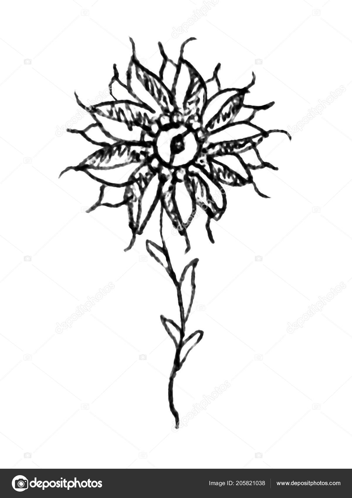 Crayon Façade Noir Blanc Dessin Fleur Isolé Sur Fond Blanc