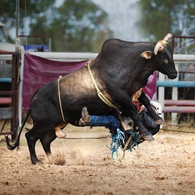 Cowboy falls off bull while competing in the bull riding event at a country rodeo