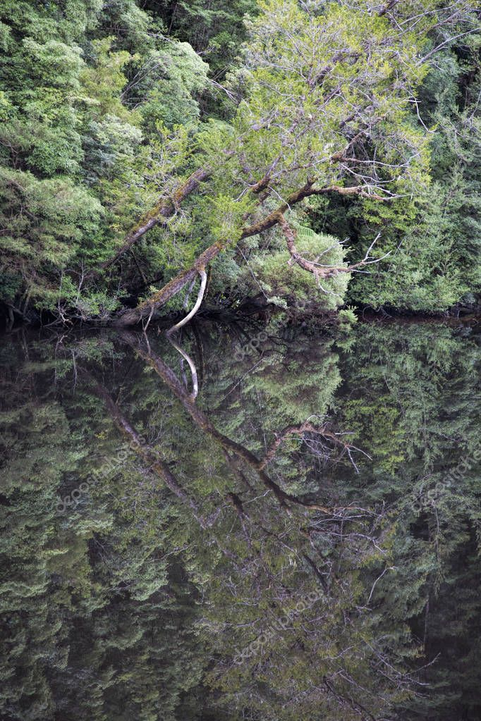 Water reflections of trees in the still water of the Gordon River in Tasmania Australia
