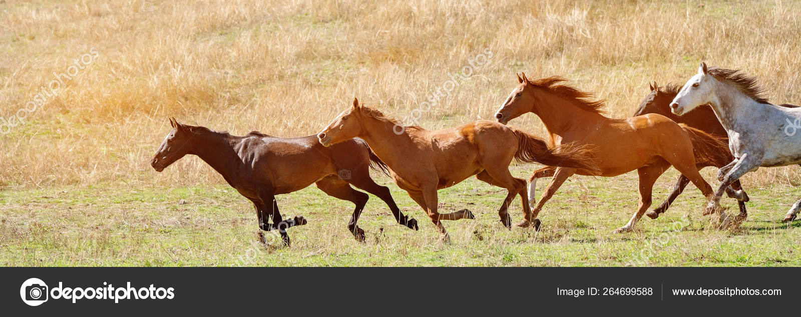 A Herd Of Wild Horses Racing Across Country Stock Photo C Jacksonstockphotography 264699588