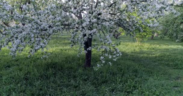 Flowering spring apple tree CC , apple garden