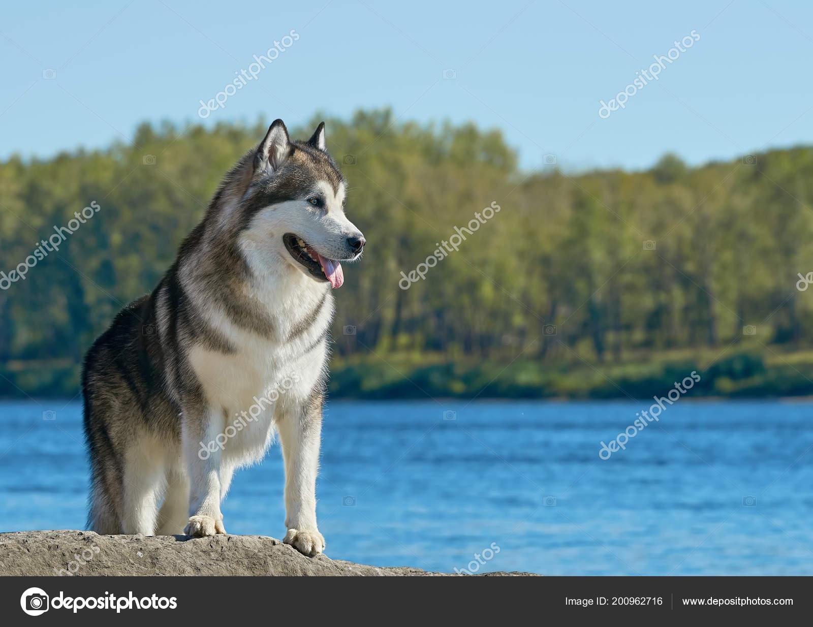 Nadýchané pes Aljašský malamut stojící na břehu řeky v přírodě Severní  Americe pozadí. Detail portrétu populární saně plemeno psů 5f5aee7f49