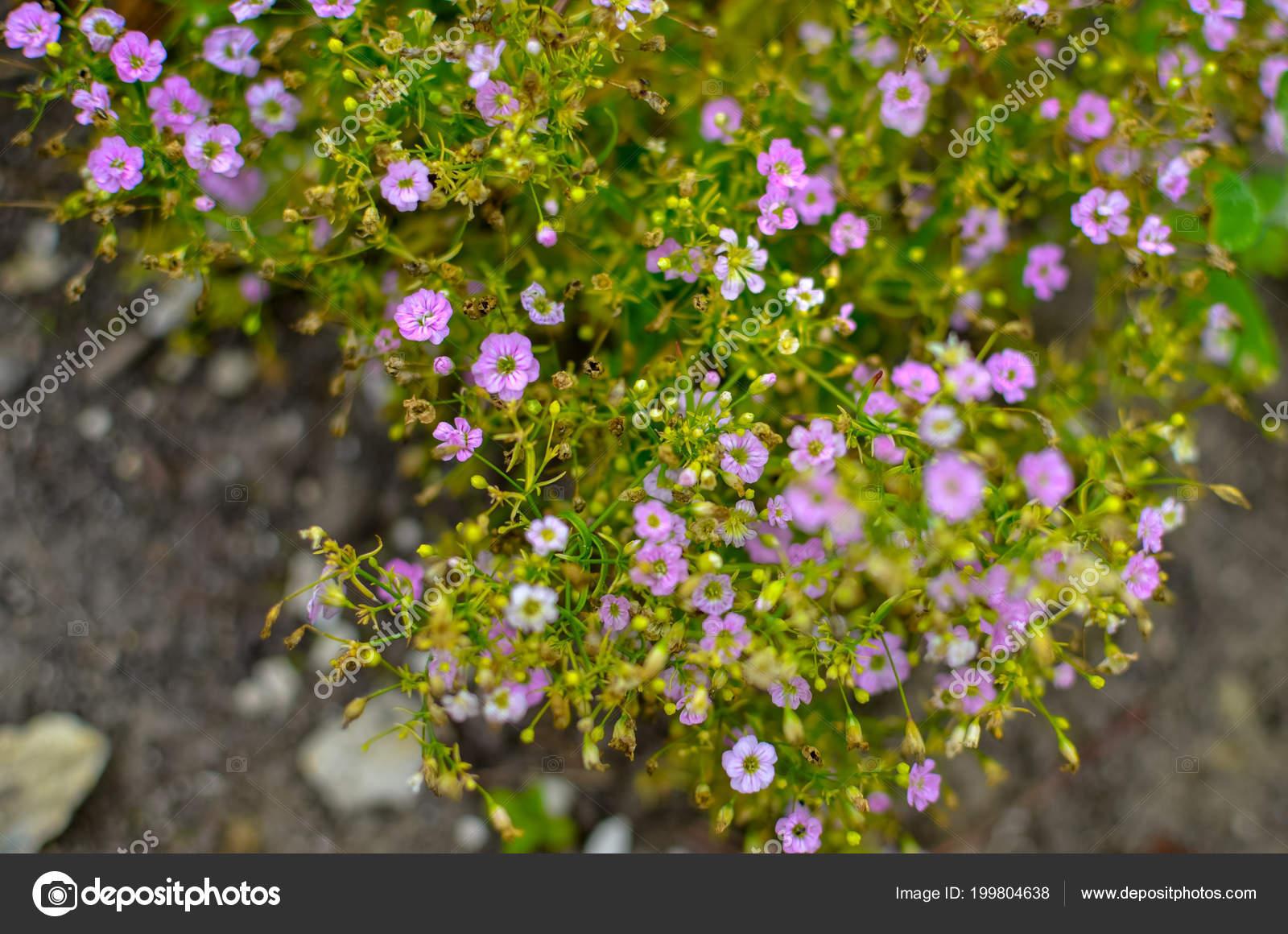 Alyssum Rose Rose Couleur Fleur Odorante Pousse Gros Buisson ...