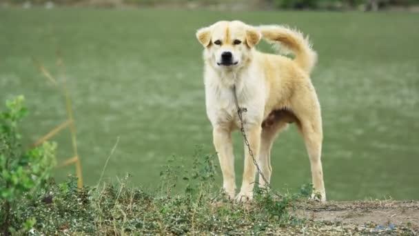 Guard dog in leash near pond barking stranger