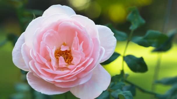 Vértes rózsaszín rózsa kert zöld háttér bokeh