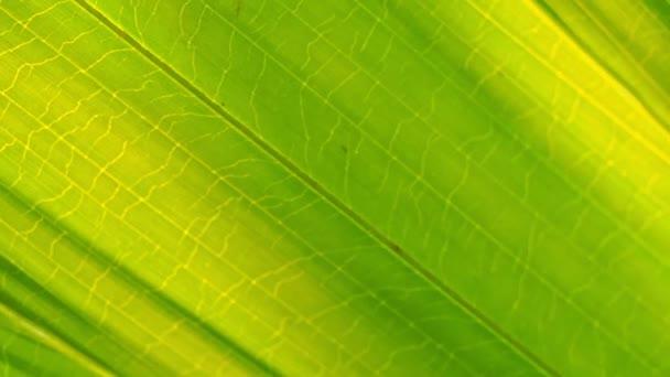 Detailní živý zelený palmový list, zatímco sluneční svit prochází.