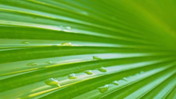 Közelkép élénk zöld pálmalevél cseppnyi esővel és fényvisszaverődéssel.