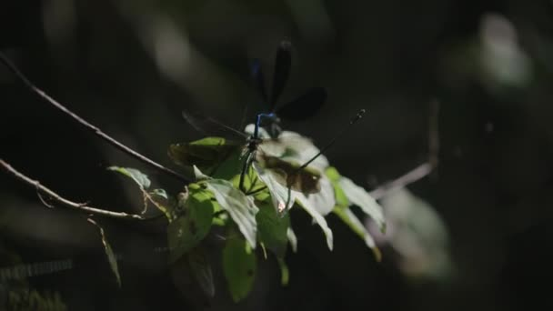 Two dragonfly mating on a branch.