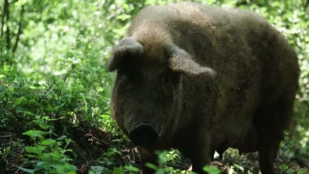 Brown pig on farm