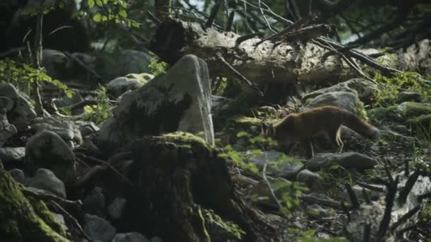 Fox is searching for food in a forest