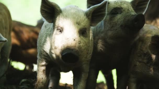 Pigs at a farm.