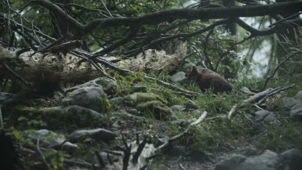 Wild fox is sitting.