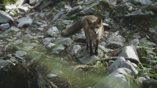 Wild fox is staring.