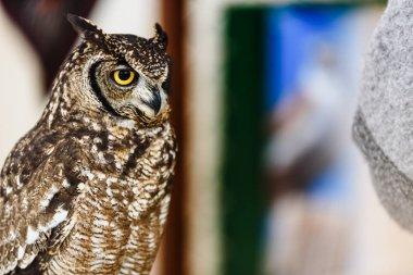 Portrait of a eagle owl, Bubo bubo, bright eyed captive at a fal