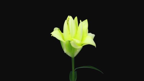 A nyílás időpontja sárga liliom virág 1d2 elszigetelt fekete háttér