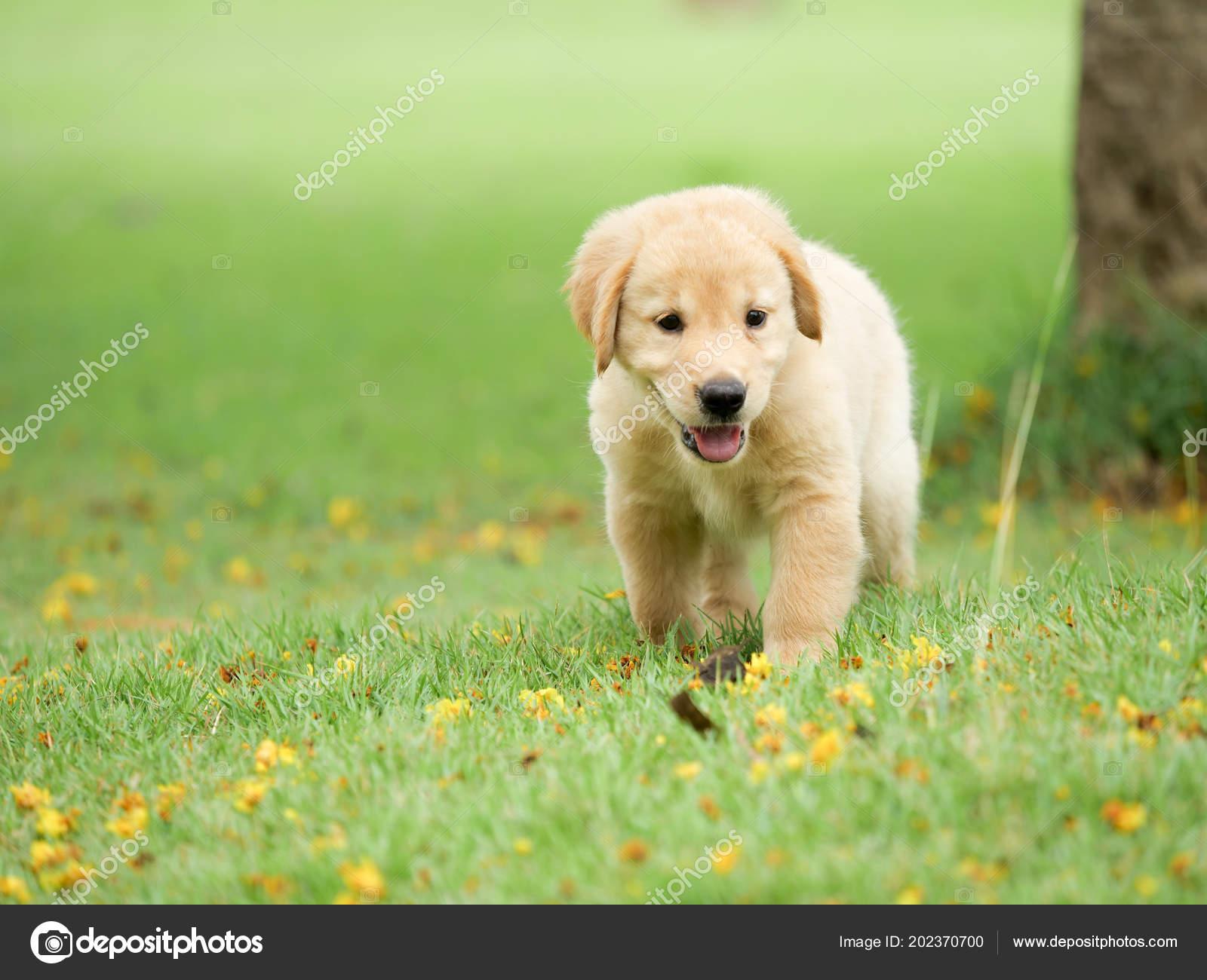 Cute Puppy Golden Retriever Running Park Stock Photo C Chayathon 202370700