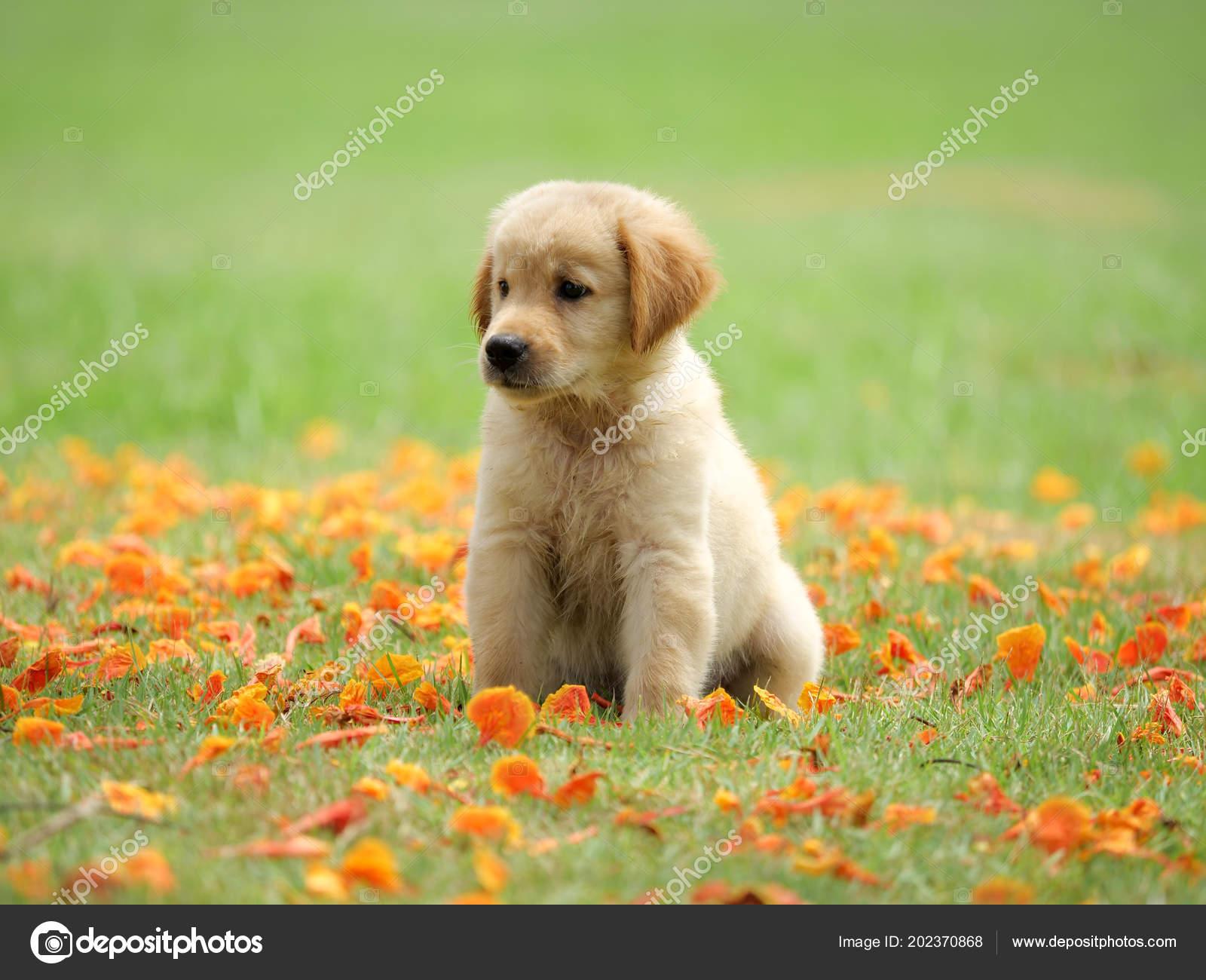Cute Puppy Golden Retriever Running Park Stock Photo C Chayathon 202370868