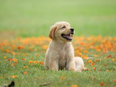 Cute Puppy Golden Retriever sitting in the park.