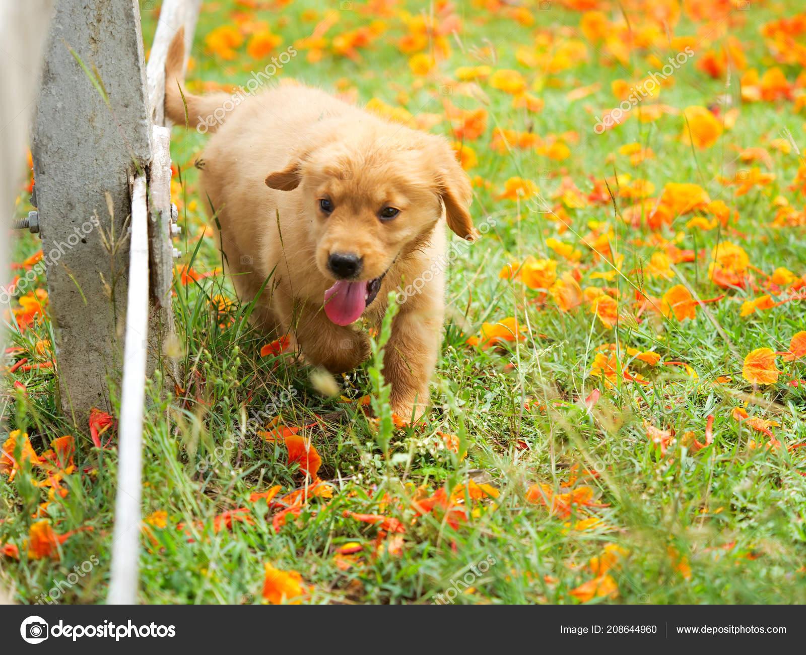Cute Puppy Golden Retriever Running Park Stock Photo C Chayathon 208644960