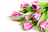 bouquet of pink tulips isolated on white