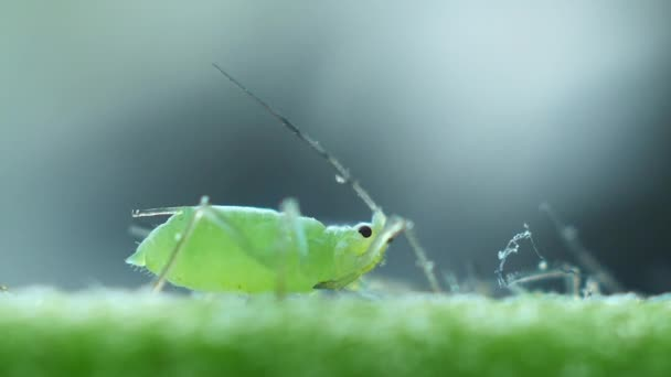 Aphids close-up on the stem