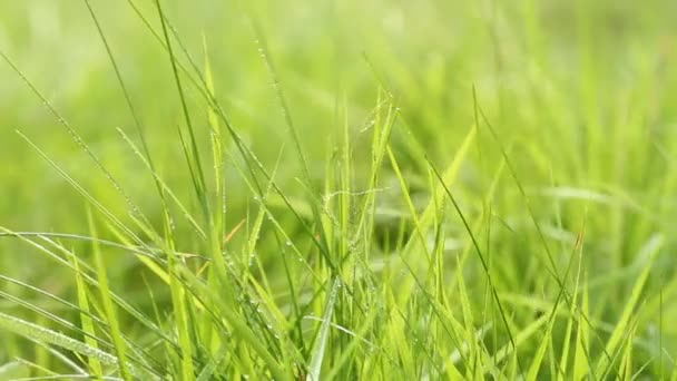 Fresh green grass  swaying on the wind, macro shot