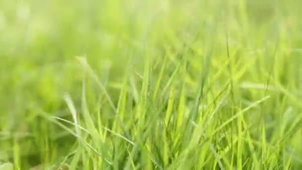 Čerstvá zelená tráva se houpat ve větru, makro