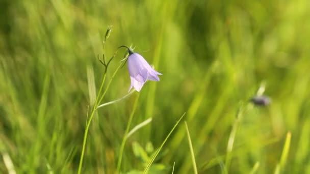 Kampanula rotundifolia nebo zvonice ve větru