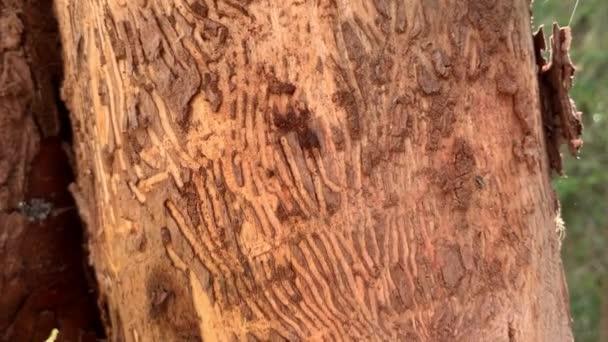 Baum durch Borkenkäfer im Wald beschädigt Abgestorbener Baumstamm, Löcher und Tunnel durch Borkenkäfer befallene Rinde