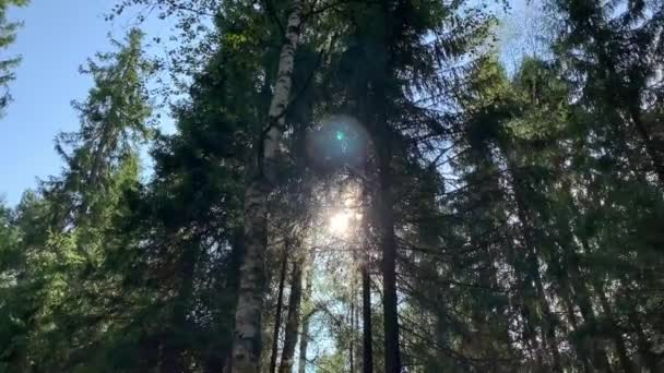 Vadon élő erdő és gyönyörű napsugarak a fák tetején, a nap a lombozaton keresztül ragyog..