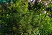 Sazenice mladých kleč (monte pinus) v letní zahradě, přírodní krajiny design a zahradnictví