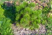 Sazenice mladých černé borovice v letní zahradě, přírodní krajiny design a zahradnictví