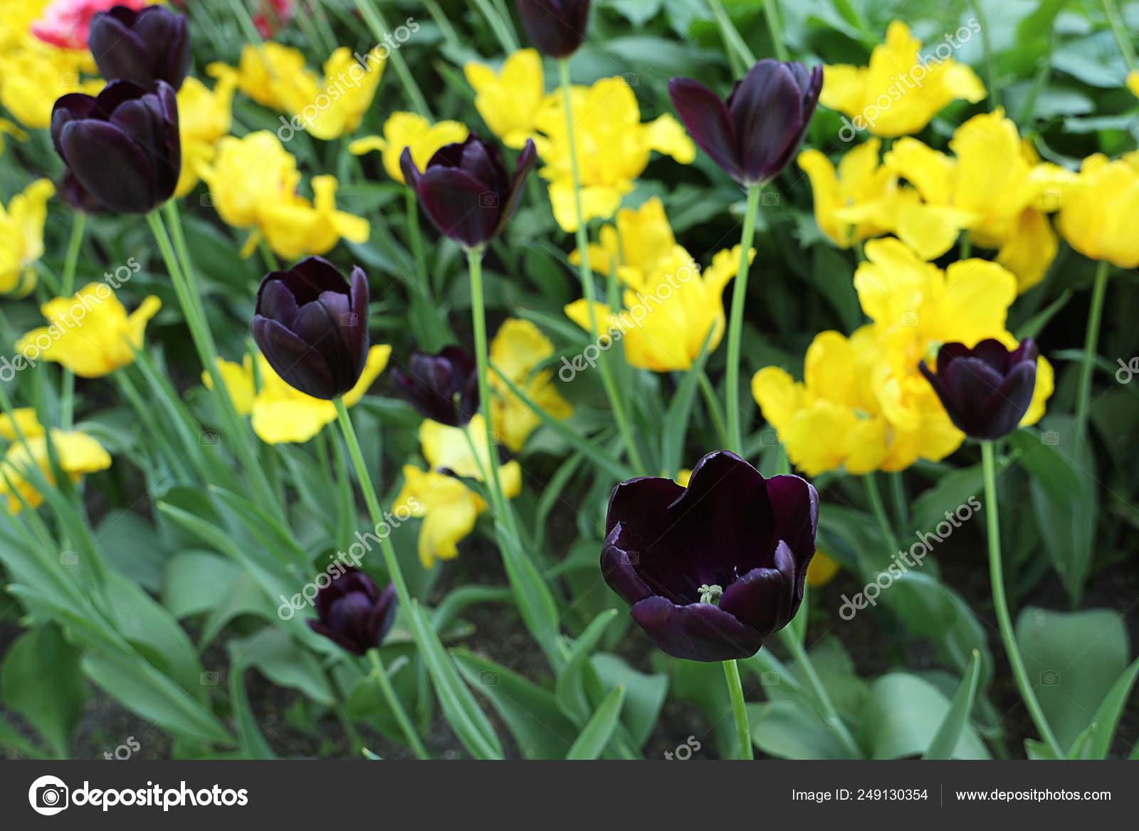 Fleurs Colorées Tulipe Pourpre Et Jaune Foncé. Plate Bande Fleurie Dans Le  Jardin De Printempsu2013 Images De Stock Libres De Droits