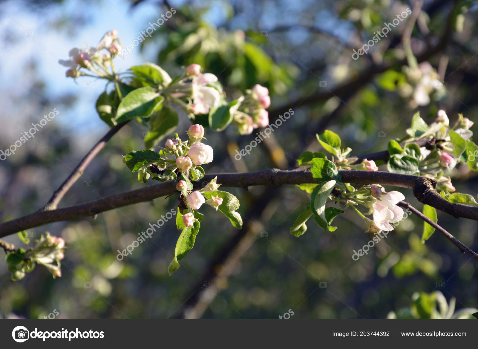 Wallpaper Blooming Apple Tree Spring Time Branch Covered Foto Stock