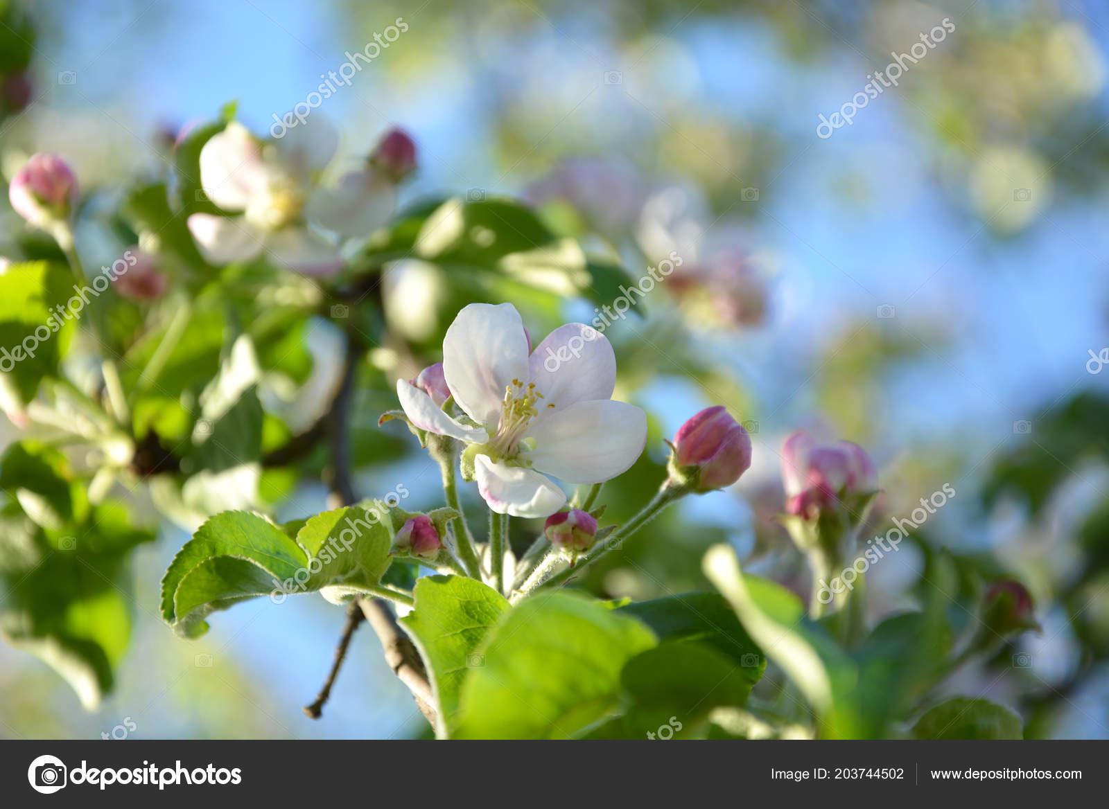 Spring Entdeckung Nein Kalender Hintergrundbilder: Wallpaper Mit Blühenden Apfelbaum Frühling Apple Ast