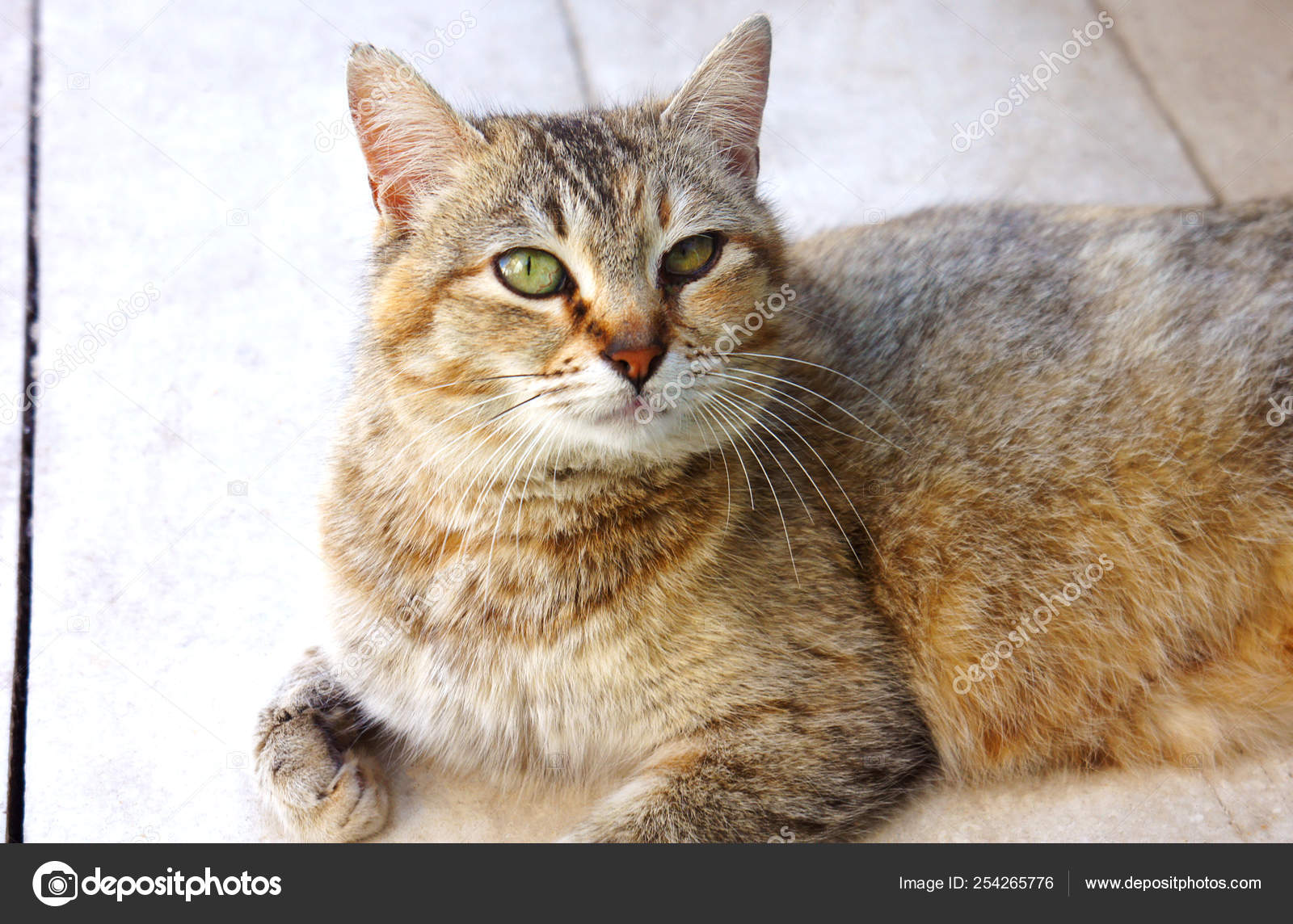 67f2d88936 striped spotted cat looks on the floor — Stock Photo © vikatomas.10 ...
