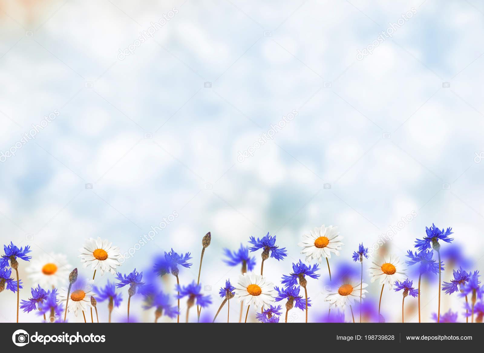 Field Cornflower Blue Flowers Background Summer Landscape Stock