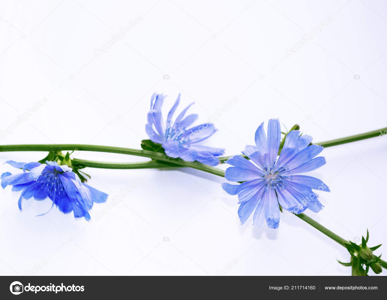 Chicorée Blüte Mit Blatt Isoliert Auf Weißem Hintergrund Stockfoto