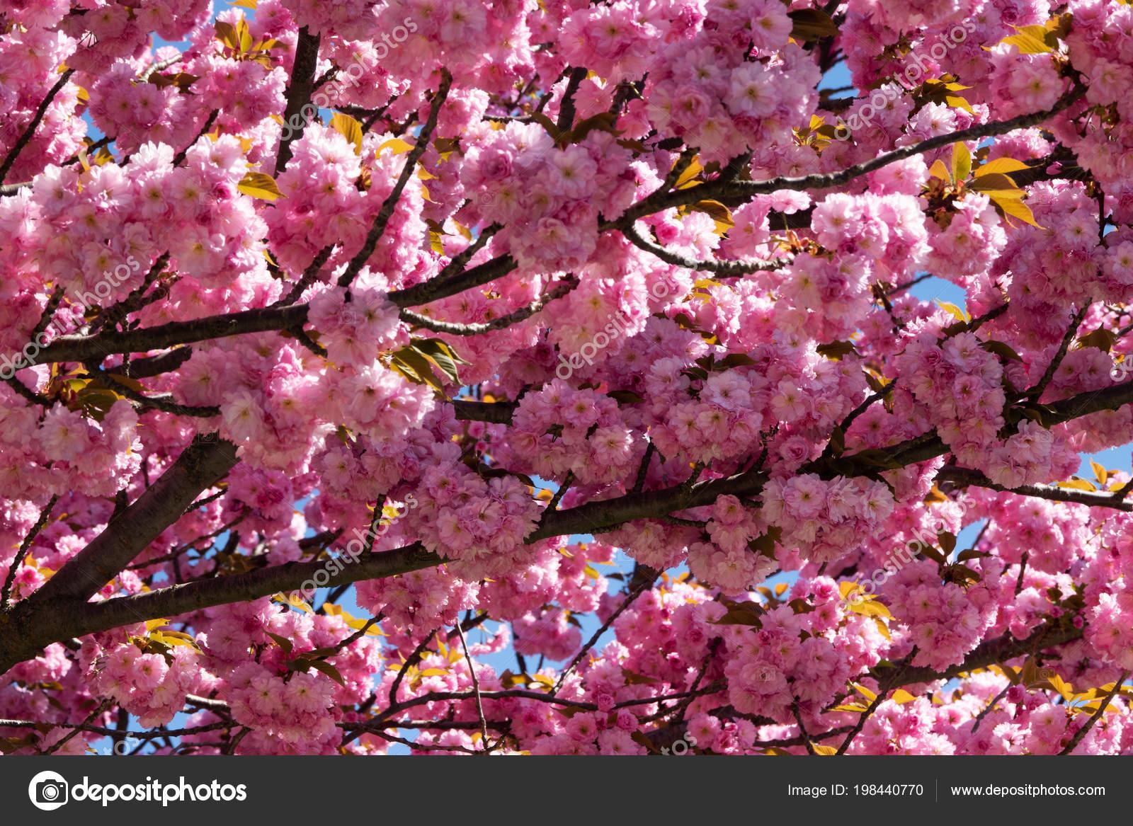 arbre a fleur rose au printemps. Black Bedroom Furniture Sets. Home Design Ideas