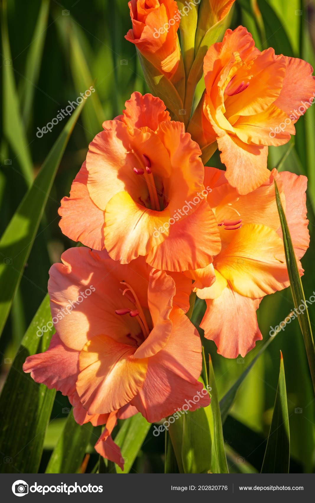 Gladiolus close beautiful flowers blooming garden stock photo gladiolus close beautiful flowers blooming garden stock photo izmirmasajfo