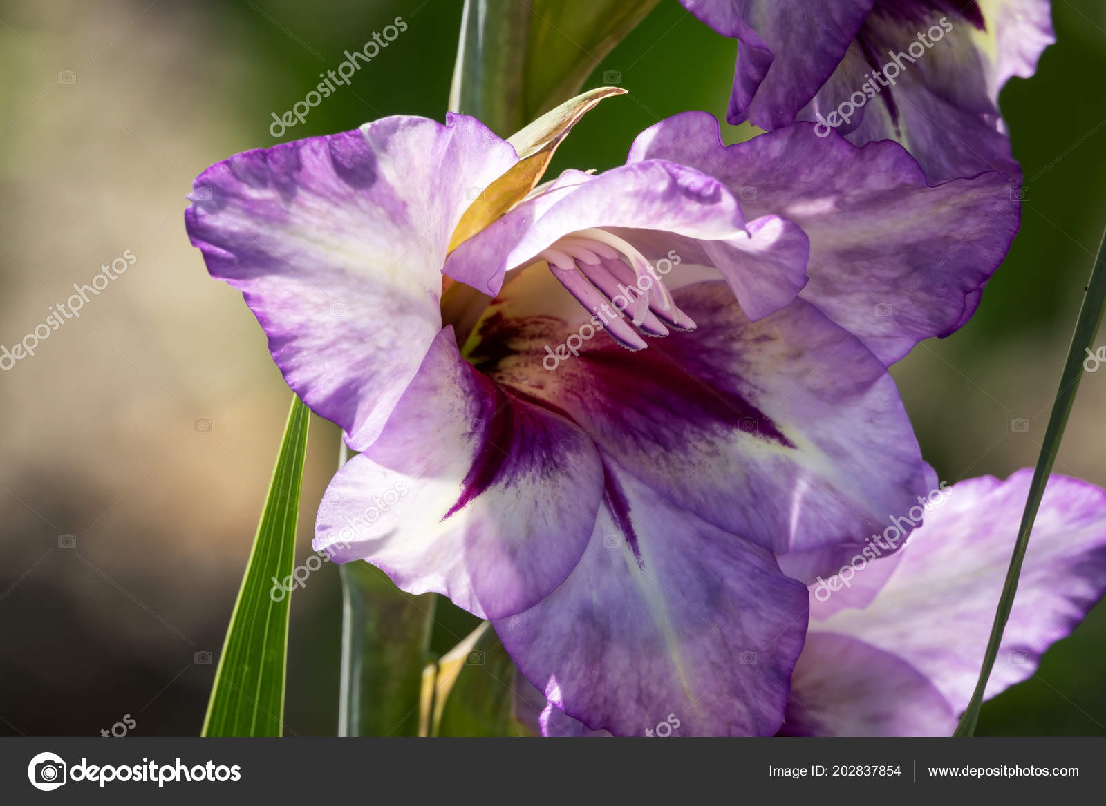 Gladiolus close beautiful flowers blooming garden stock photo gladiolus close beautiful flowers blooming garden stock photo izmirmasajfo