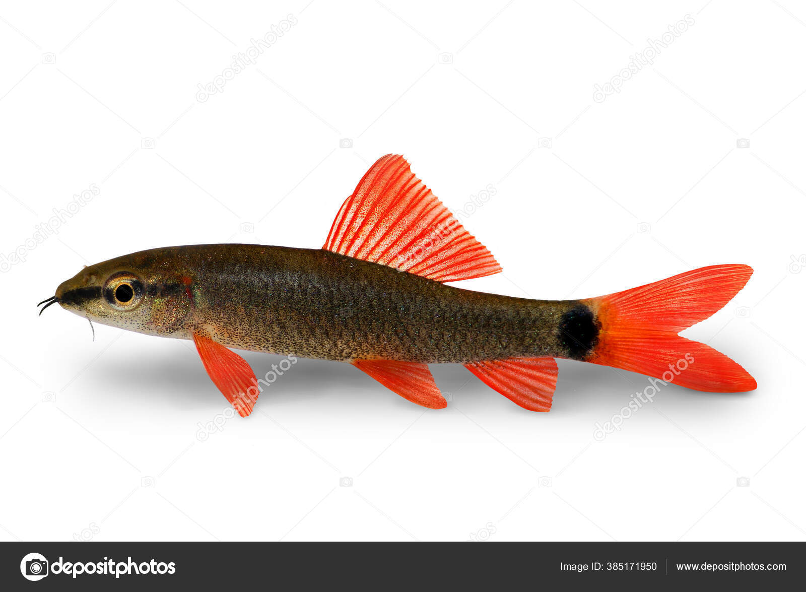 Rainbow Shark Catfish Epalzeorhynchos Frenatum Aquarium Fish Isolated White Stock Photo C Mirkor410 385171950