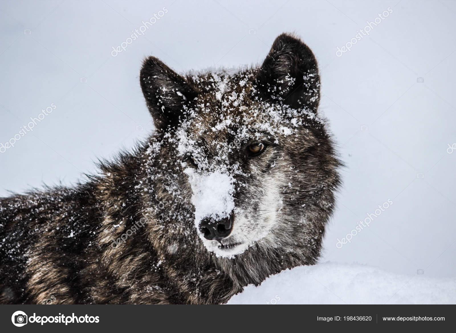 Photography: grey wolf | Alpha Female Grey Wolf Snow — Stock