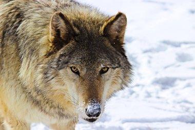 Alpha Male Grey Wolf Howling