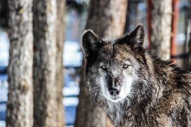 Alpha Female Grey Wolf in the Snow