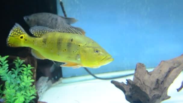 hal cichla kelbri az akváriumban