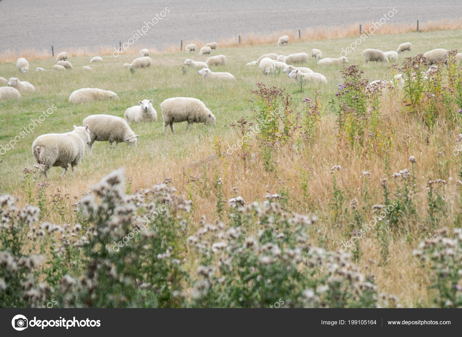 Flock Sheep Relaxing Meadow Sheep Farming Significant