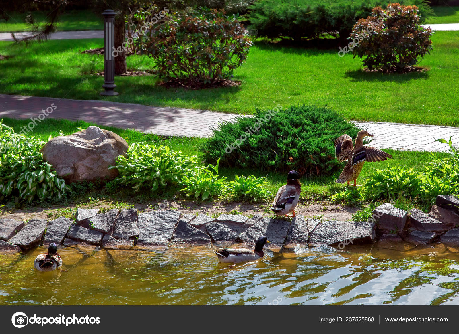 After Swimming In The Pond Ducks Go On Land To Stroll Through The Landscape  Design Of The Park.