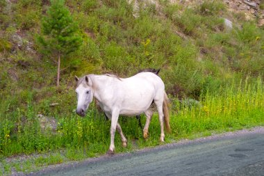 A lone white colored horse without a saddle and a bridle goes along the road in the mountains of the Altai on the grass