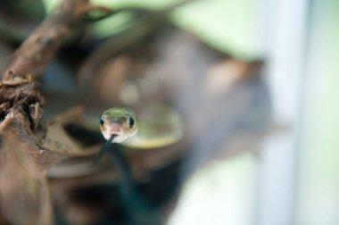 The snake in the aquarium. A predator living in captivity.